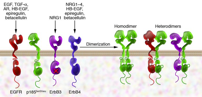 ErbB receptors and their ligands. All four members of the ErbB receptor ...