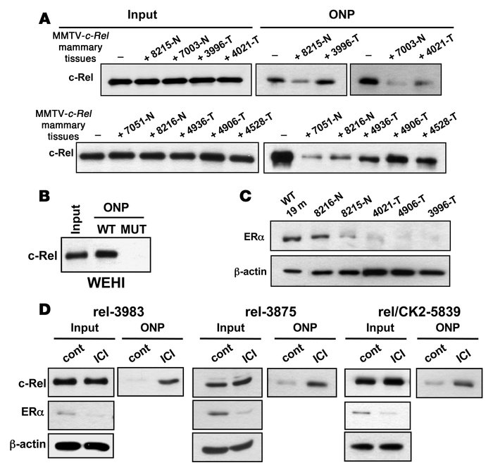 Inhibition of ERα signaling increases c-Rel DNA binding. (A) WCEs (250 μ...