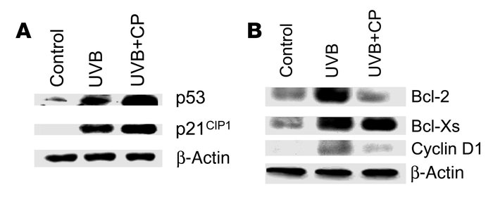 Effects of CP-31398 treatment on the expression of p53 target, cell-cycl...