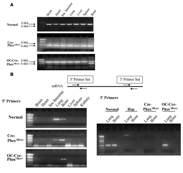 Phex DNA genotyping and mRNA expression in knockout mice. (A) DNA genoty...