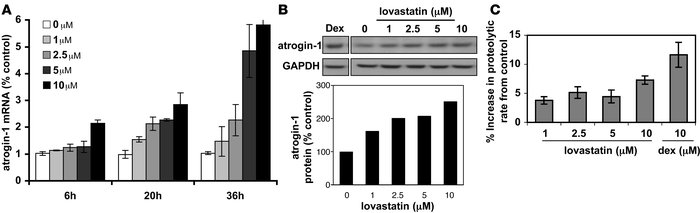Lovastatin induces expression of both atrogin-1 mRNA and protein in cult...