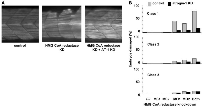 Targeted knockdown of zebrafish HMG-CoA reductase has a muscle phenotype...
