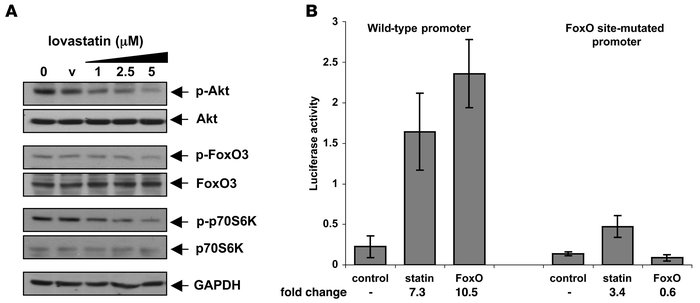 Lovastatin suppresses IGF-1 signaling. (A) Lovastatin suppresses PI3K/AK...