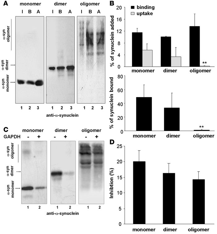 Degradation in lysosomes by CMA of multimeric forms of α-syn. (A) Associ...