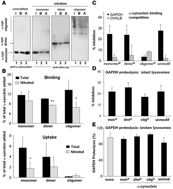 Effect of nitration of α-syn on its degradation in lysosomes by CMA. (A)...