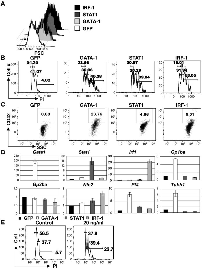 STAT1 signaling promotes megakaryocytic differentiation in G1ME cells. (...