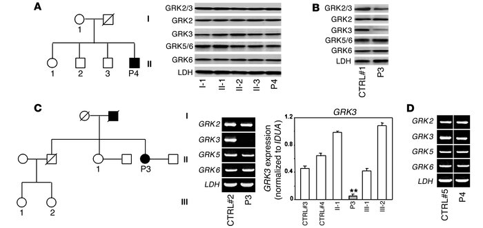 Reduced levels of GRK3 products in P3 leukocytes. (A and B) The steady-s...
