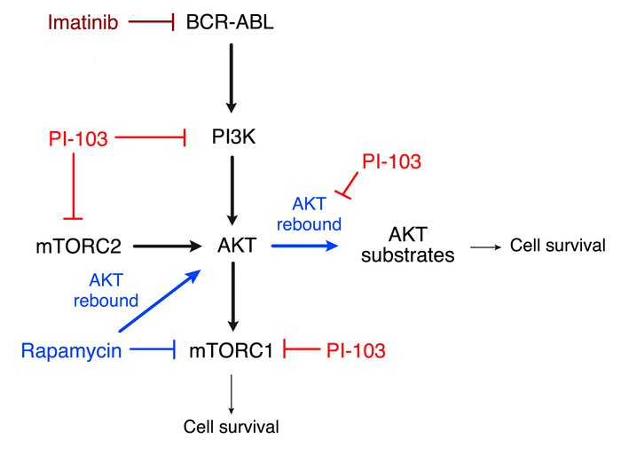 Schematic diagram of PI3K and mTOR signaling and inhibitor action in BCR...