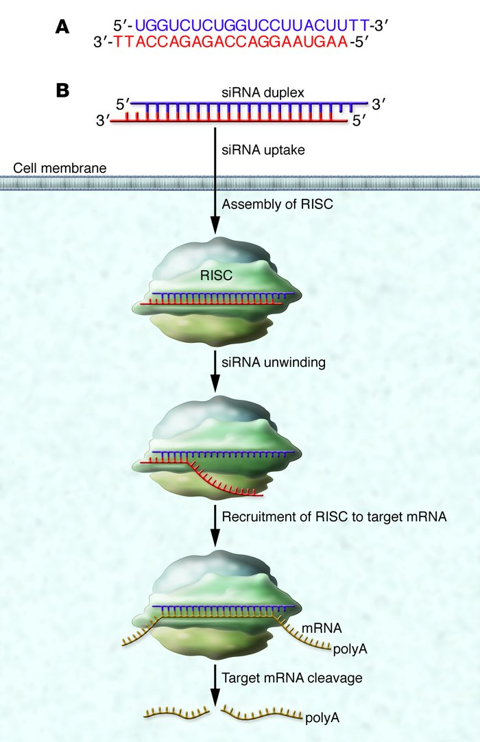 (A) siRNAs are double-stranded RNAs approximately 20 base-pairs in lengt...