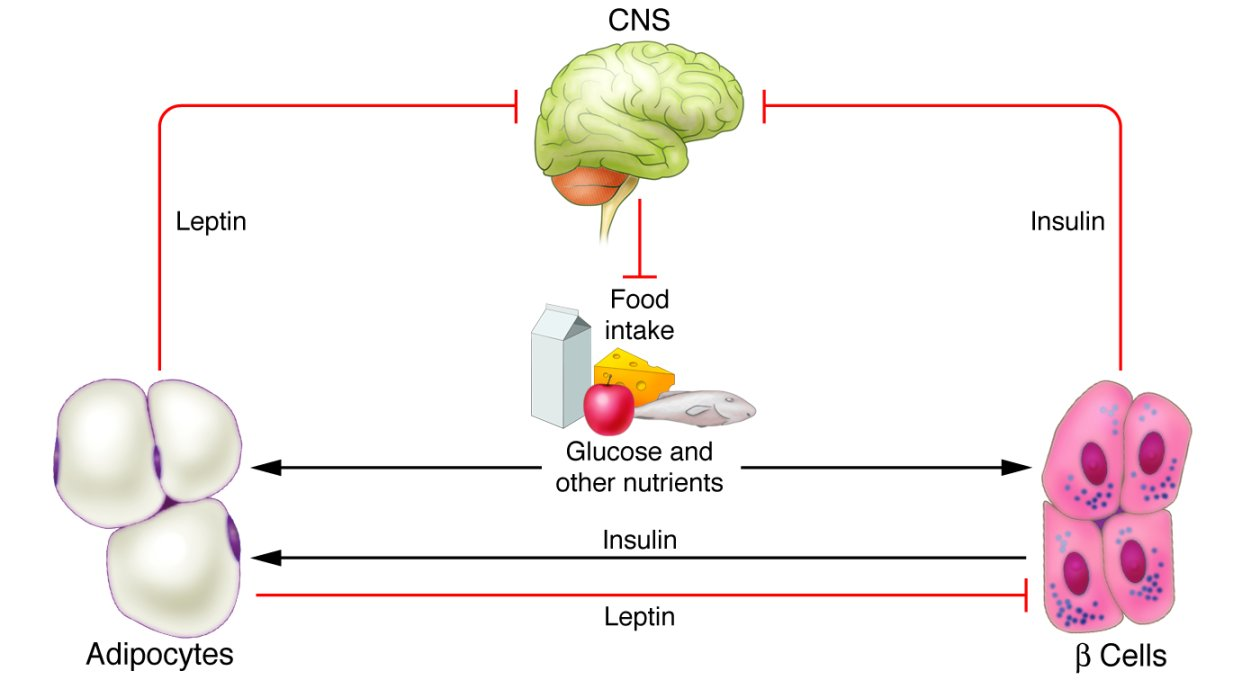 insulin and appetite