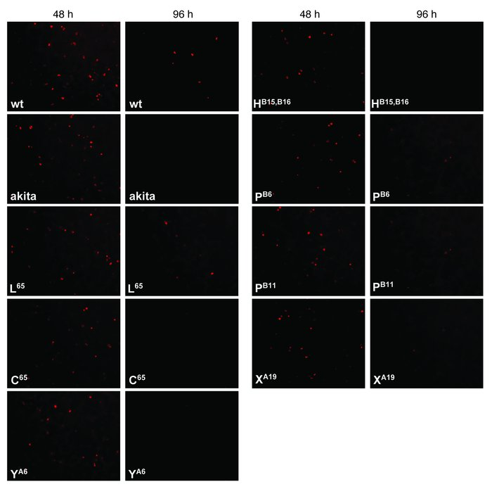 Viability of transfected INS-1E cells. Shown is the viability of INS-1E ...