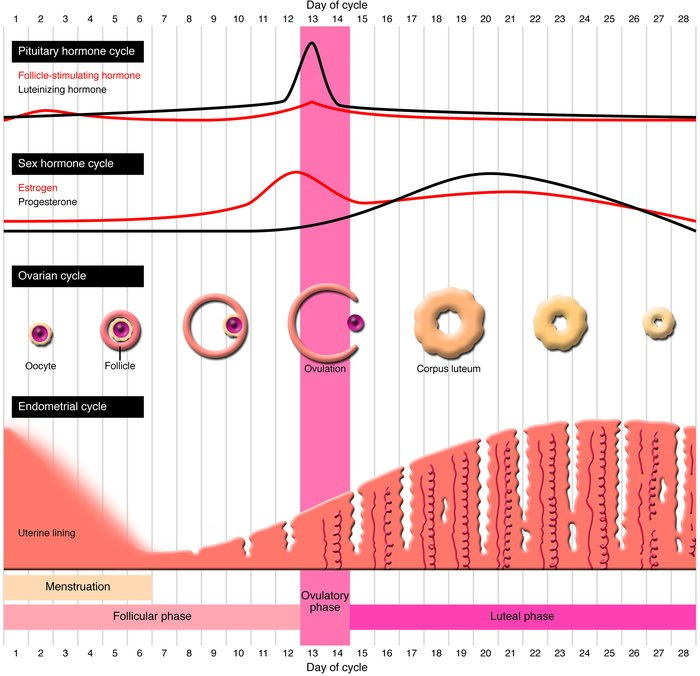 The human female menstrual cycle. The human female menstrual cycle is di...