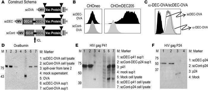 Design and characterization of antigen fused to single-chain antibody to...