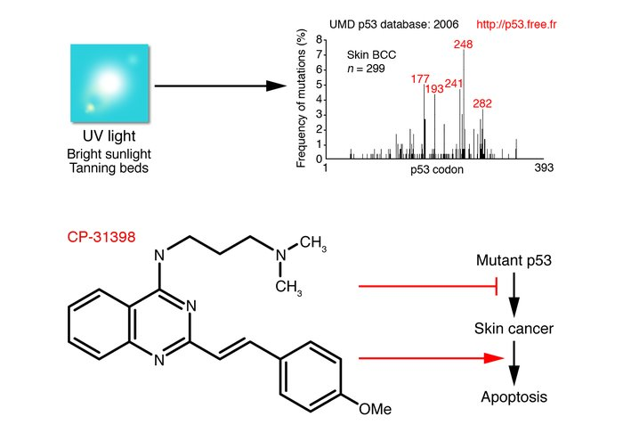 Targeting mutant p53 to prevent or treat UV light–induced skin cancer. U...