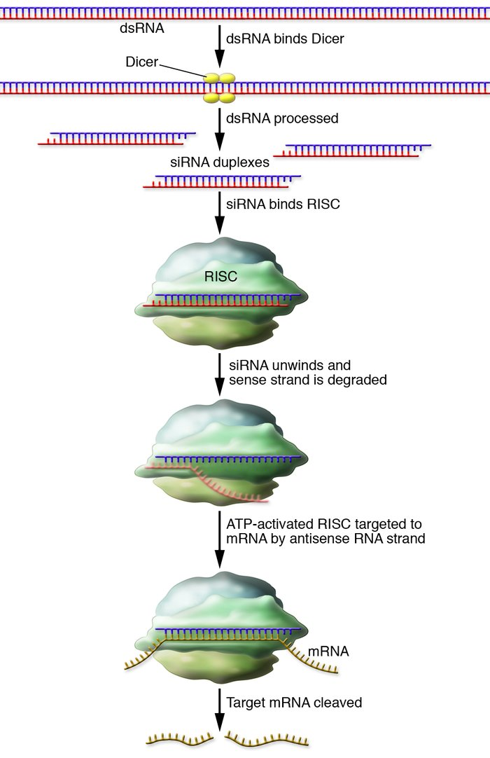 The RNAi pathway. The enzyme Dicer processes dsRNA molecules into shorte...