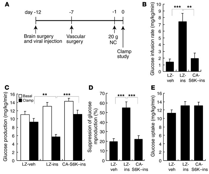 Hypothalamic overexpression of CA-S6K leads to insulin resistance in the...