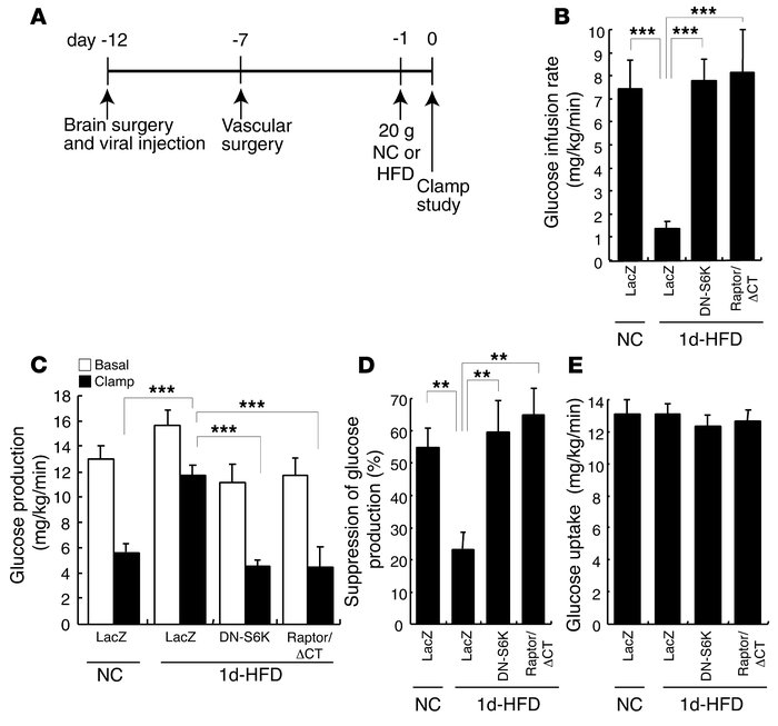 Hypothalamic overexpression of DN-S6K or Raptor/ΔCT reverses insulin res...