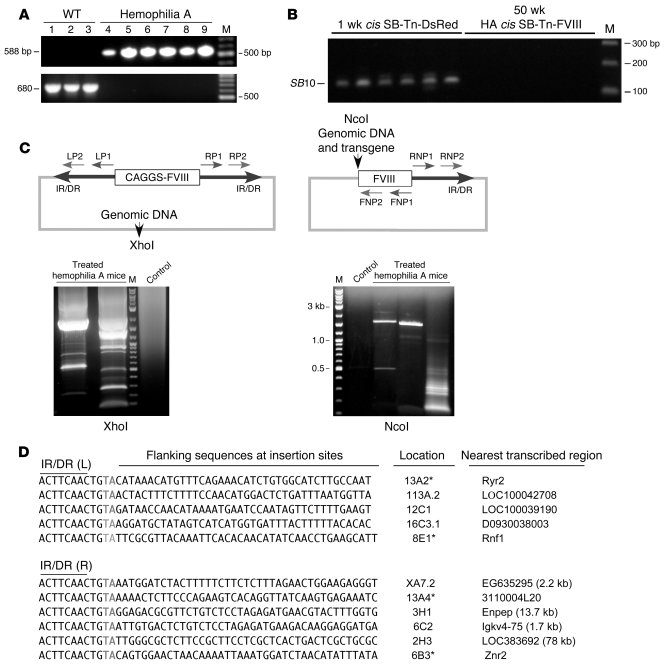 PCR identification of DNA flanking the SB-Tn insertion sites.     (A) DN...