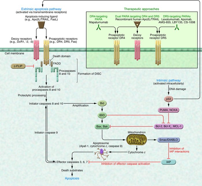 Extrinsic and intrinsic apoptosis pathways and caspase modulation (see t...
