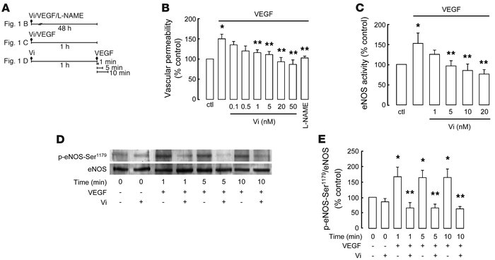 Vasoinhibins (Vi) prevent VEGF-induced vasopermeability, eNOS activity, ...