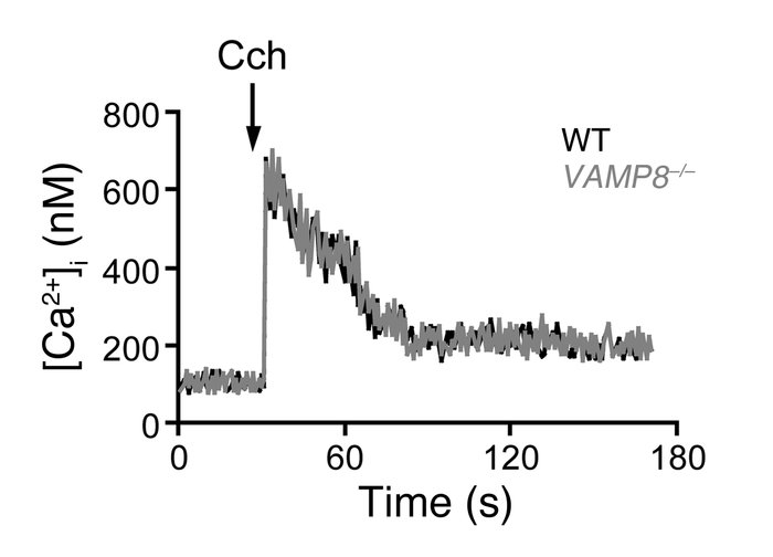 VAMP8 deletion does not alter [Ca2+]i mobilization in Cch-stimulated pan...