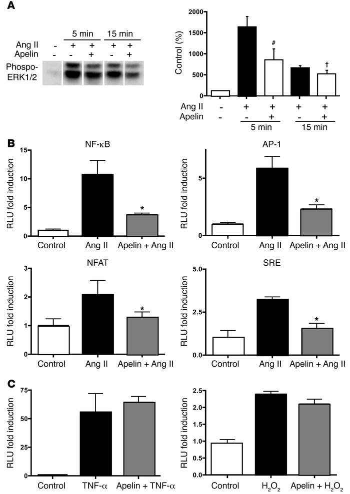 Apelin inhibits Ang II cellular signaling. (A) Ang II stimulation of RAS...
