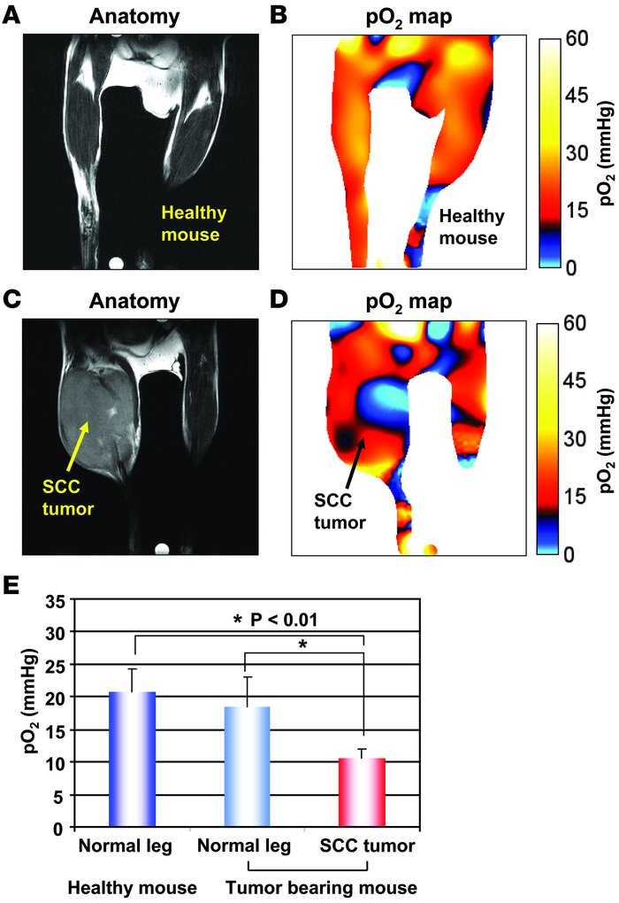 EPR oxygen imaging of normal muscle in live mice. EPRI method allows the...