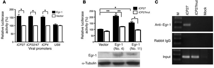 Egr-1 activates HSV-1 gene promoters by binding to its corresponding seq...