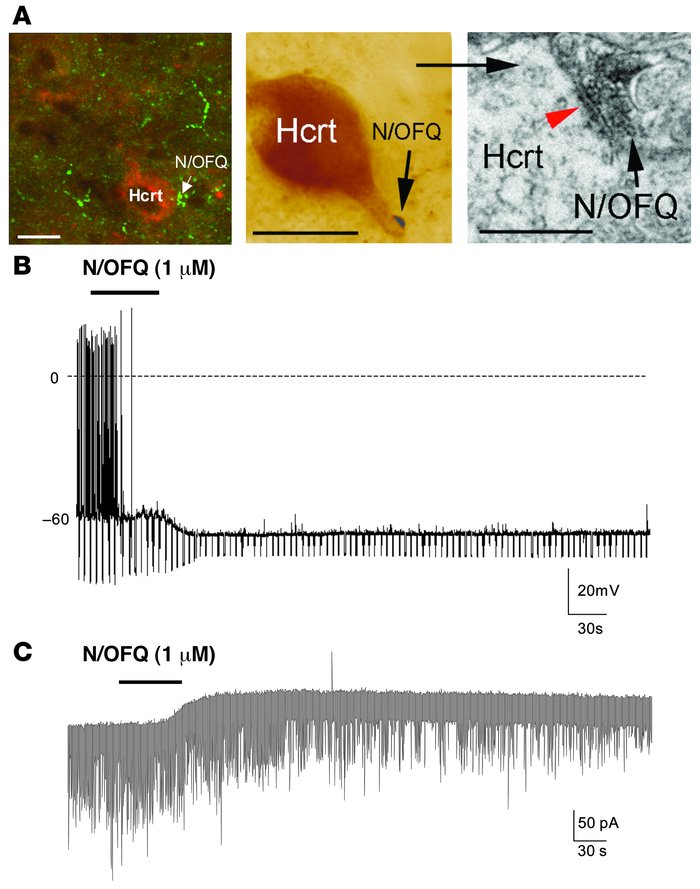 N/OFQ-containing fibers innervate Hcrt neurons, and N/OFQ inhibits Hcrt ...