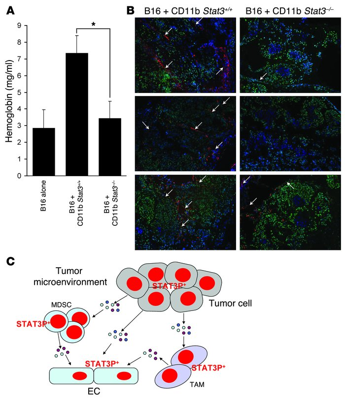 Stat3 is critical for myeloid cell–induced tumor angiogenesis by in vivo...
