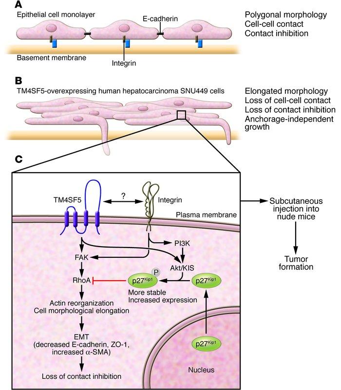 Tetraspanin In Oncogenic Epithelial-mesenchymal