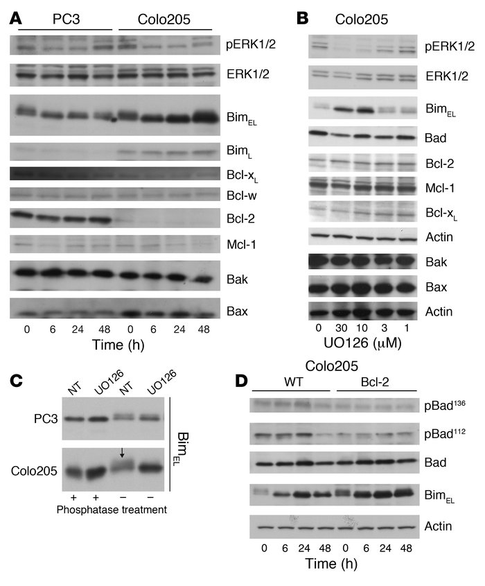 Effect of MEK inhibition on the expression and phosphorylation of BH3-on...