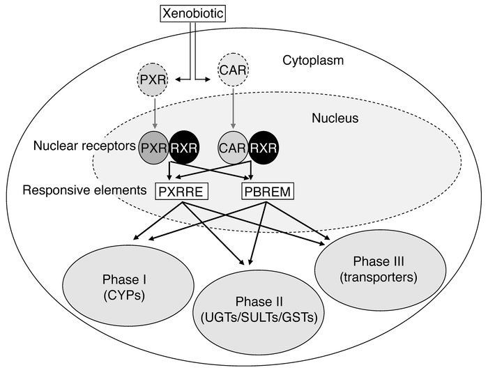 Crosstalk between PXR and CAR. A multitude of xenobiotics can interact w...