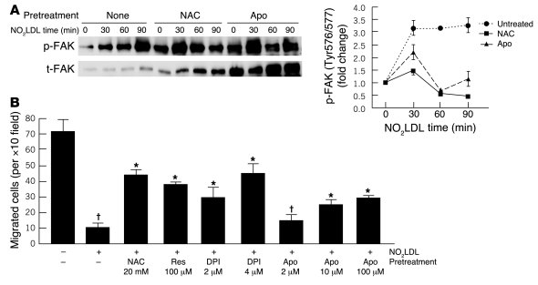Antioxidants and NADPH oxidase inhibitors restore dynamic activation of ...
