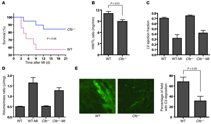 Improved cardiac function in Cfb–/– mice after MI.     (A) Kaplan-Meier ...