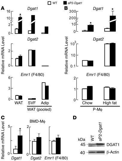 Dgat1 mRNA levels are increased in both adipocytes and macrophages from...