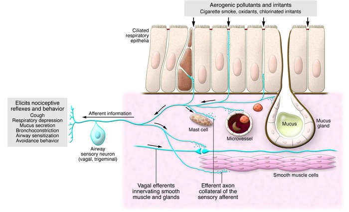 A schematic overview of the airway-sensory neuron unit. Sensory neurons,...