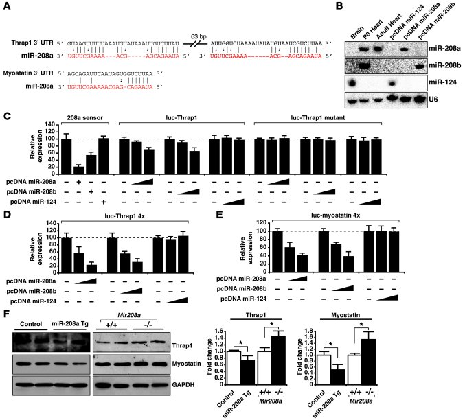 miR-208a and miR-208b repress the expression of Thrap1 and myostatin. (A...