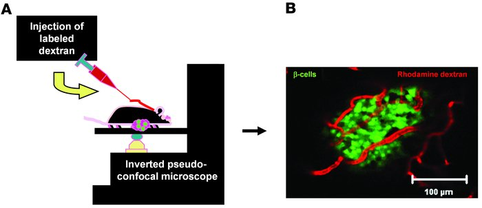 Imaging islet blood flow in vivo. (A) Schematic of in vivo imaging setup...