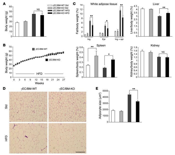 Tie2Cre-mediated PPARγ deletion decreases white adipose tissue mass and ...