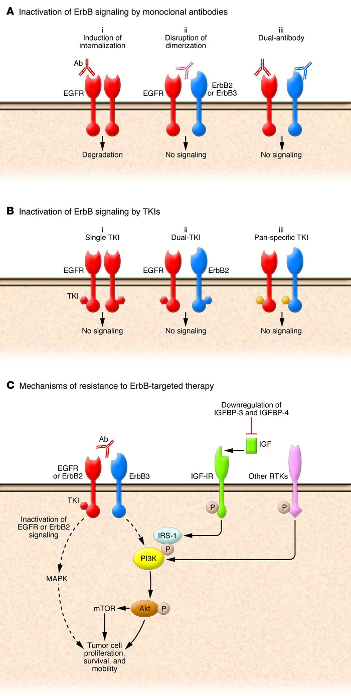 ErbB-targeted therapeutics and mechanisms of resistance. (A) Inactivatio...