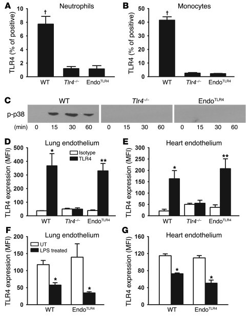 TLR4 is only expressed on the endothelium in the EndotheliumTLR4 mice.  ...