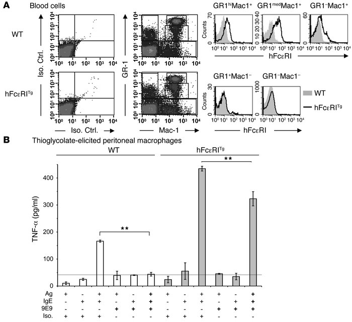 Both hFcεRI and mFcγRIV engagement by IgE ICs induces TNF-α secretion by...