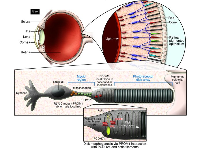 Retinal rod photoreceptor disk assembly requires PROM1. The rod photorec...