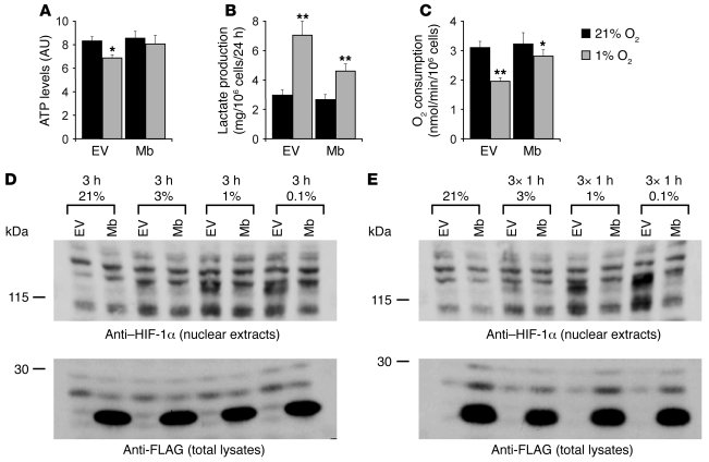 Mb expression attenuates the hypoxic response of cancer cells. (A) Lenti...