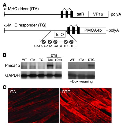 Generation of cardiac-specific, inducible Pmca4b transgenic mice. (A) Sc...