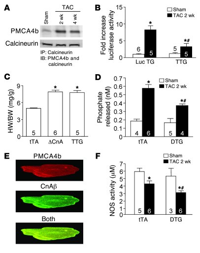 Pmca4b regulates calcineurin/NFAT signaling in vivo. (A) Immuno­precipit...