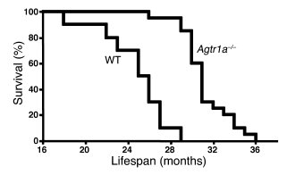 Knocking-out AT1A prolongs life span in the mouse.     A Kaplan-Meier an...
