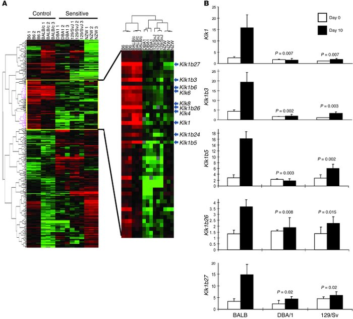 Strain-dependent gene expression differences in the renal cortex in AIGN...