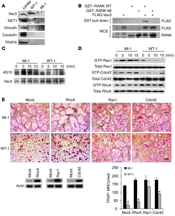 The RRI peptide blocks Vav3 and small GTPase signaling. (A) Biotinylated...